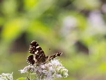 Map butterfly Araschnia levana sitting on a flower. Map butterfly Araschnia levanafrom second generation sitting on a flower on a sunny autumn day royalty free stock image