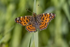 Map butterfly (Araschnia levana). A map butterfly is sitting on a grass-stock Royalty Free Stock Photography