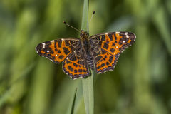 Map butterfly (Araschnia levana). A map butterfly is sitting on a grass-stock Stock Images