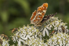 Map butterfly (Araschnia levana) Royalty Free Stock Photos