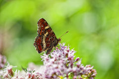 Map Butterfly - Araschnia levana. Summer generation - in a Macro shot Stock Photos