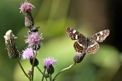 Map Butterfly Araschnia levana on thistle branch. With pink blossom Royalty Free Stock Images
