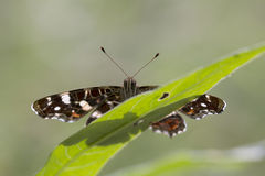 The map butterfly close-up portrait Stock Photos