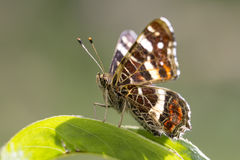 The map butterfly close-up portrait Stock Image