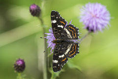 The map butterfly close-up portrait Royalty Free Stock Photography