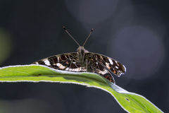Map butterfly on a dark backdrop. Map butterfly resting on a leaf with backlight on a dark background Royalty Free Stock Photo
