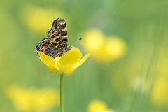 Free Map Butterfly Eating Nectar Royalty Free Stock Photos - 71782718