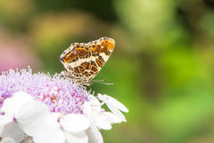 Map Butterfly on Hydrangea Flower Stock Photos