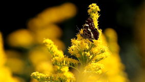 Map butterfly and other insects at yellow goldenrods stock footage