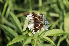 Map butterfly sits on the flowers of elderberry. Brown butterfly royalty free stock photography