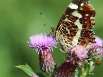 Map butterfly. A map butterfly sitting on a leaf royalty free stock image