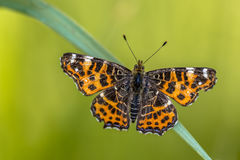 Map Butterfly spring brood Royalty Free Stock Photography