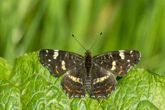 The map butterfly summer brood Royalty Free Stock Photo