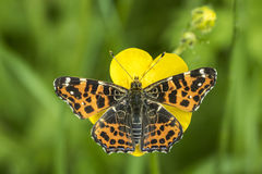 Map Butterfly top view. Top view of a map butterfly (Araschnia levana) resting on a yellow buttercup flower. This butterfly is a Spring season generation in Royalty Free Stock Photo