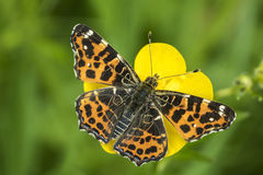 Map Butterfly top view. Top view of a map butterfly (Araschnia levana) resting on a yellow buttercup flower. This butterfly is a Spring season generation in Royalty Free Stock Image