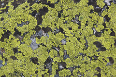 Map lichen in Austria mountains, Tyrol Royalty Free Stock Photography