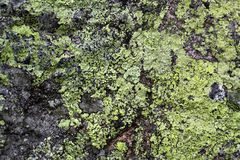 Map Lichen Stock Image