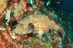 Map puffer. (arothron mappa) fish swimming above corral reef - Komodo national park, Flores, Indonesia stock photo