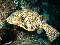 Map puffer fish. Here is a big map puffer fish encountered in diving (Maldives Stock Photography