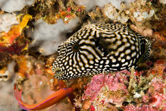 Map pufferfish in Ambon, Maluku, Indonesia underwater photo. Map pufferfish Arothron mappa is swimming above the reef royalty free stock photos