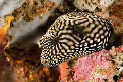 Map pufferfish in Ambon, Maluku, Indonesia underwater photo. Map pufferfish Arothron mappa is swimming above the reef stock photos