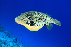 Map pufferfish Royalty Free Stock Image