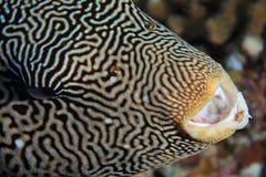 Map pufferfish Stock Photo