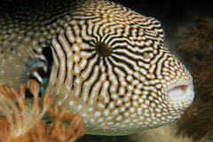 Map Pufferfish. Close-up of a Map Pufferfish (Arothron Mappa). Komodo, Indonesia royalty free stock photography