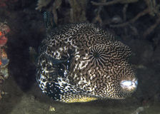 Map Pufferfish Looms From the Deep Stock Photo
