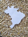 Map of the territory of Brazil in white and background with grains of corn. Yellow edible seed, agriculture and harvest, world cereal production, ingredient for royalty free stock photography