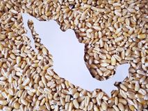 Map of the territory of Mexico in white and background with grains of corn. Yellow edible seed, agriculture and harvest, world cereal production, ingredient for stock images