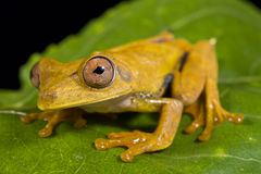 Map tree frog, Hypsiboas geographicus. The Map tree frog, Hypsiboas geographicus, is an nocturnal tree frog species found in northern South America Royalty Free Stock Photos