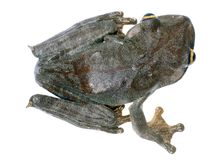 Map treefrog. Map tree frog (Hypsiboas geographicus Royalty Free Stock Images