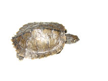 Map turtle Stock Image