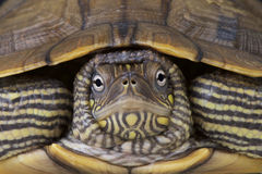 Map turtle / Graptemys ouachitensis Royalty Free Stock Photos