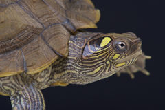 Map turtle / Graptemys ouachitensis. The map turtle is a medium sized, brightly colored turtle species found in the Eastern United States Stock Images