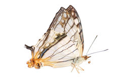 Map wing butterfly  Royalty Free Stock Image