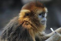 małpa ostrożnie wprowadzać afront Zdjęcie Royalty Free