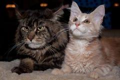 Mapache adulto de Maine y pequeño gatito del jengibre Imagenes de archivo