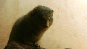 Mapache animal en parque zoológico almacen de metraje de vídeo