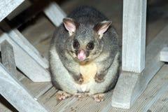 Mapache atado cepillo del oposum en la isla del canguro Imagenes de archivo