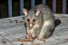 Mapache atado cepillo del oposum en la isla del canguro Fotografía de archivo libre de regalías