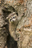 Mapache del bebé en un árbol Fotos de archivo libres de regalías