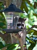 Mapache en el alimentador del pájaro Fotos de archivo libres de regalías
