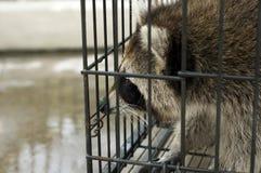 Mapache en la jaula prisionera Imagenes de archivo