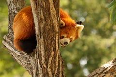 Mapache en parque de la fauna de Pekín fotografía de archivo libre de regalías