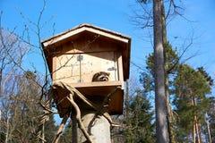 Mapache en su casa de madera en Europa imagenes de archivo