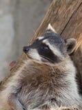 Mapache en un parque zoológico Imagen de archivo