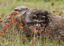 Mapache joven que mira a escondidas de un registro rodeado por los Wildflowers Fotografía de archivo libre de regalías