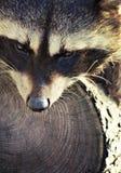 Mapache junto con su árbol Foto de archivo libre de regalías